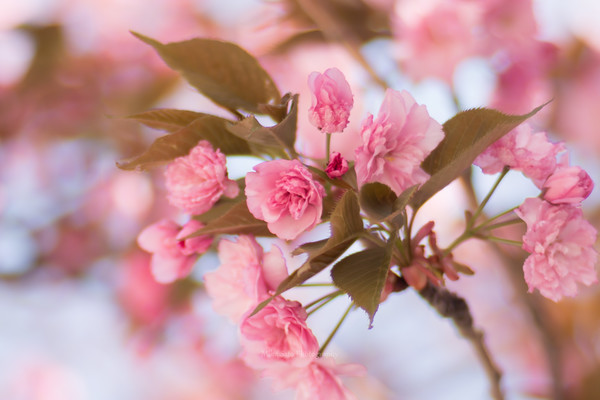 Flowering cherrry