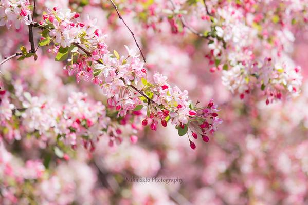 Flowering crabapple (pink) in Central Park