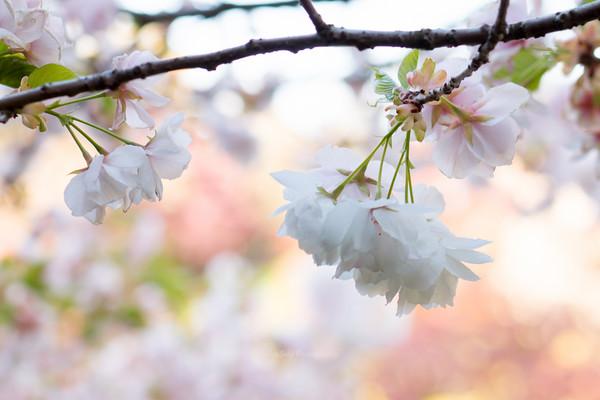 Flowering cherry (white)