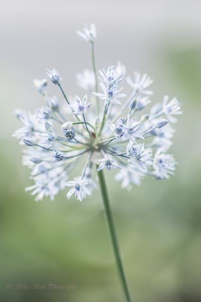 Blue allium flower